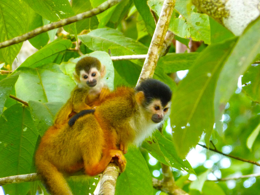 Baby and Mommy Ttit monkeys