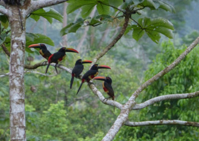 Aracaris and more aracari TOUCANS
